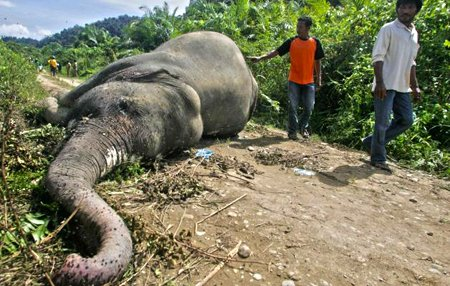 elephant-mort éléphant de Sumatra dans Environnement