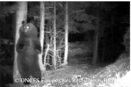 Une belle surprise pour les défenseurs de l'ours ourse