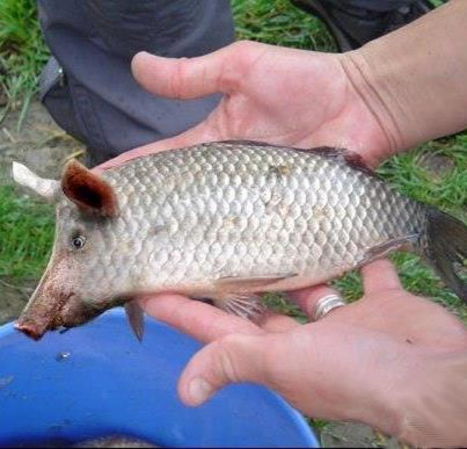 Retour des farines animales en Europe dans ECONOMIE poisson_porc